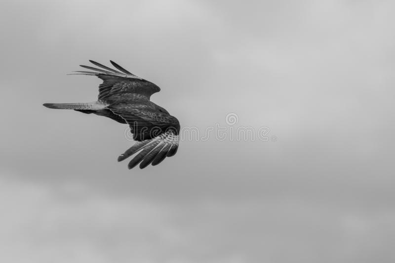 Black and white flying bird stock photography