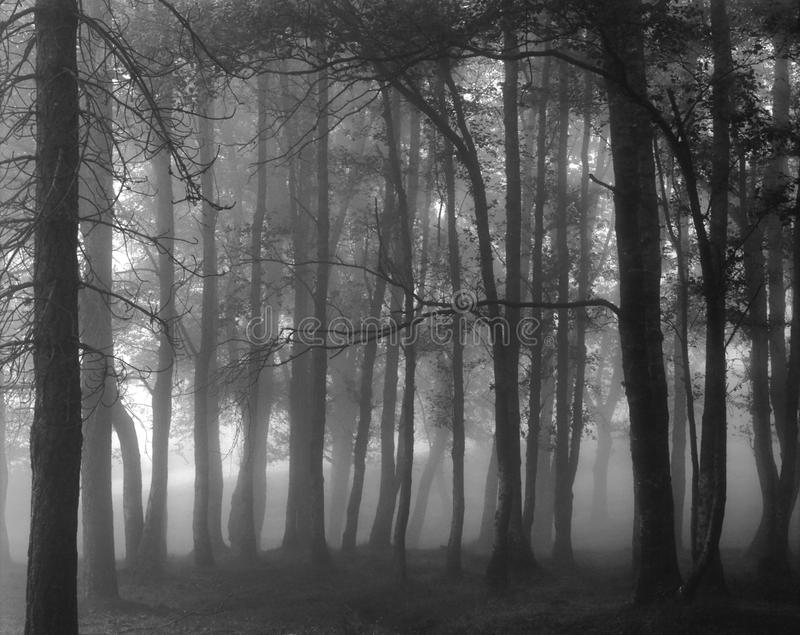 Black and white foggy forest royalty free stock image