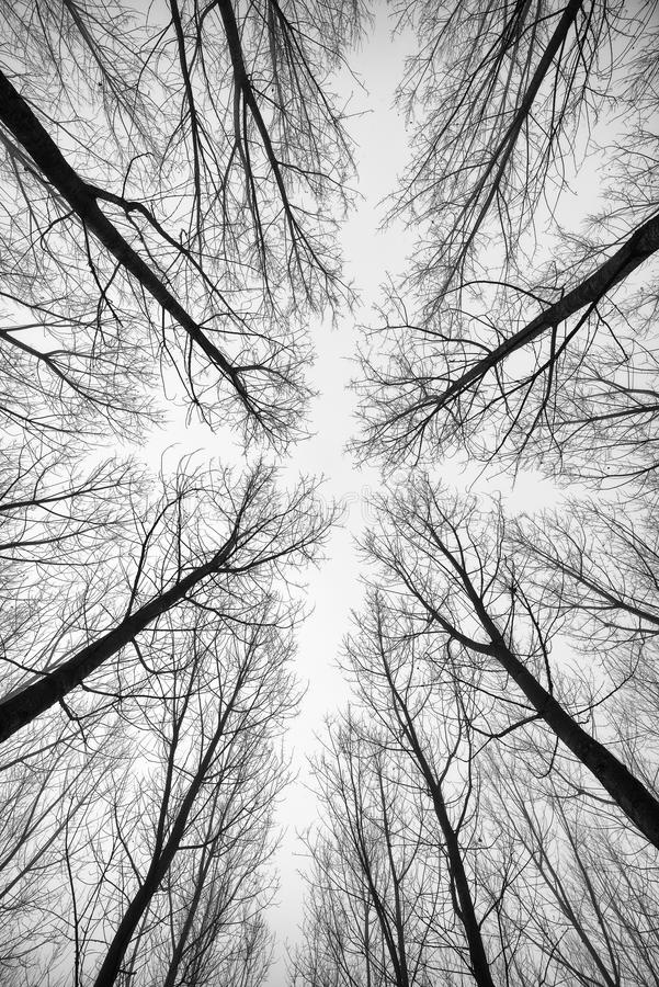 Black and white forest of trees photographed from below - the effect abstract stock images