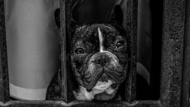 Black and White French Bulldog royalty free stock photo