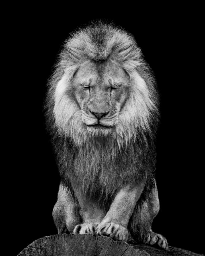African Lion VI. Black and White Frontal Portrait of an African Lion WIth Closed Eyes royalty free stock images