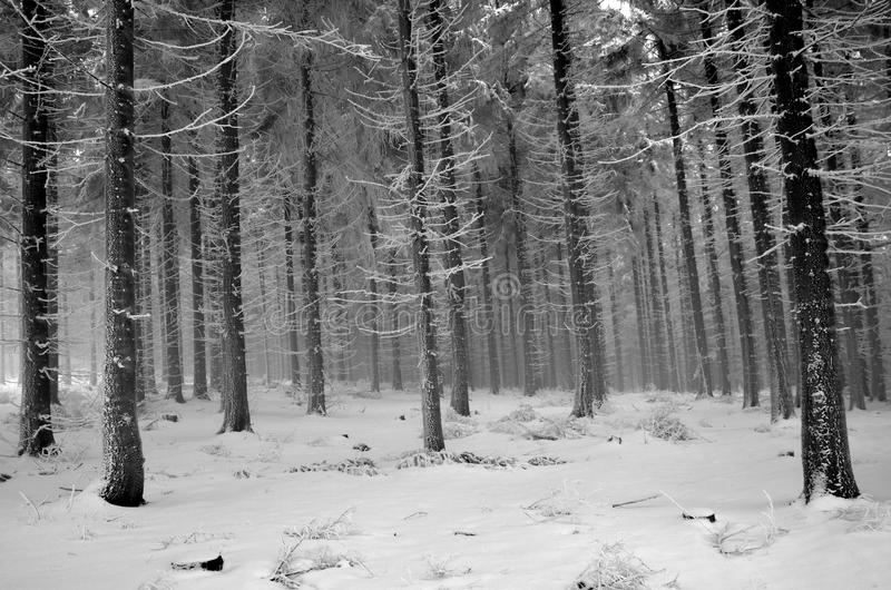 Frosty forest in mist stock photography