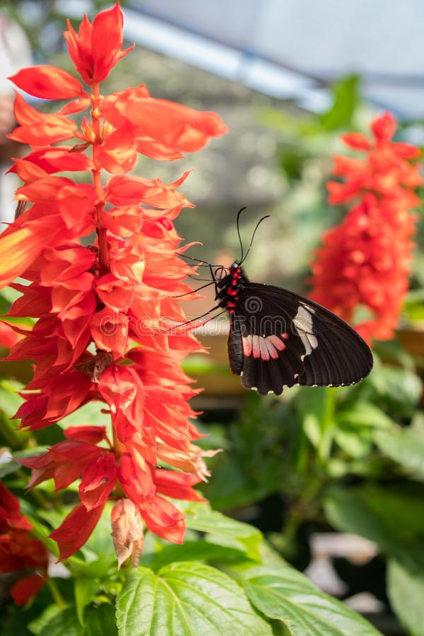 Black, white and fuchsia butterfly posing on a beautiful plant with red flowers stock image