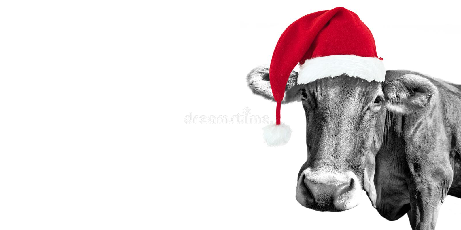 Black and white fun cow on white with a Santa hat, Christmas greeting card stock photo