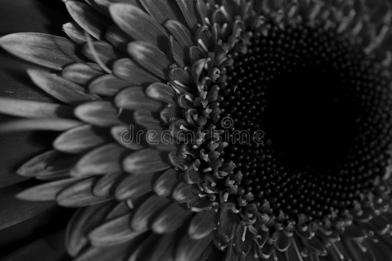 Black and white gerbera stock photo