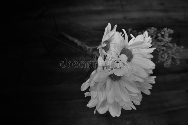 Black and white Gerbera Daisies and Coralbell accent. A black and white photo of Gerbera Daisies with Coralbell accent with copyspace included royalty free stock photo