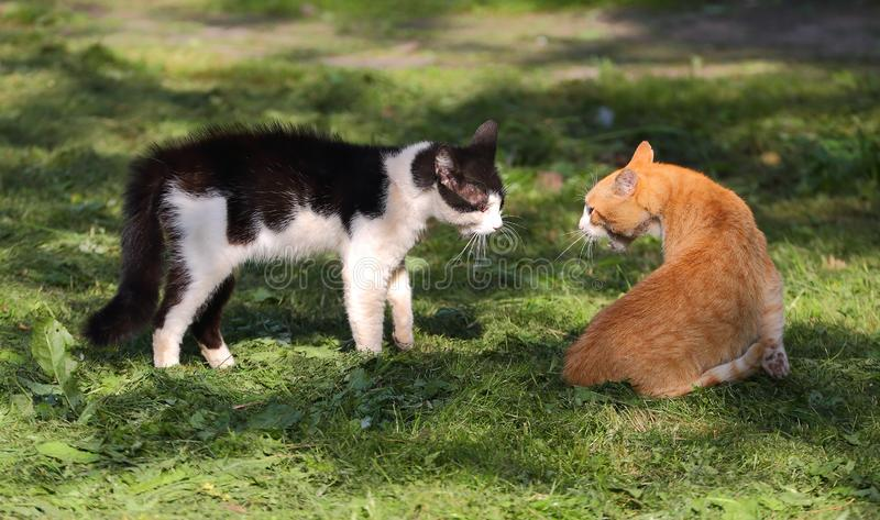 Black-and-white and ginger cats look into each other`s eyes royalty free stock images