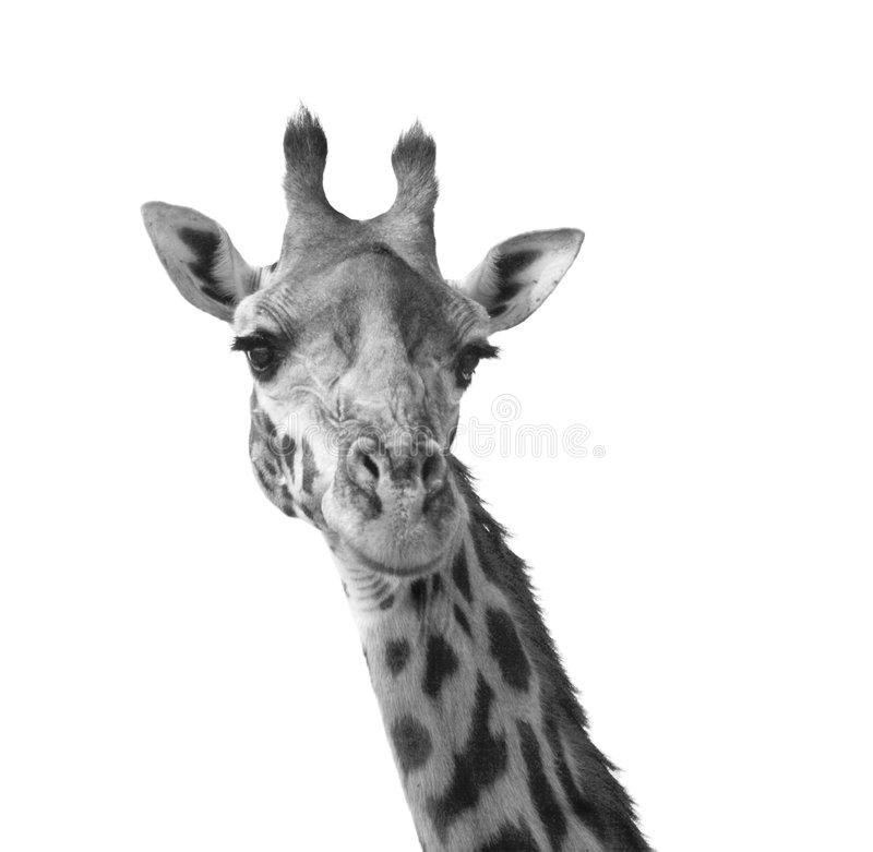 Black and white giraffe. Portrait Kenya Africa royalty free stock image