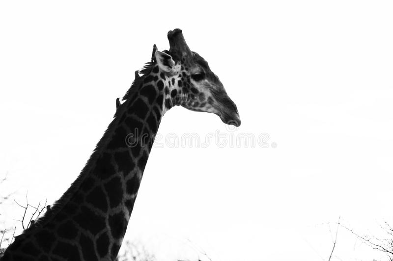Giraffe profile, Limpopo. Black & White of giraffe with oxpeckers on its neck. Taken in the Greater Kruger in Limpopo, South Africa stock photo