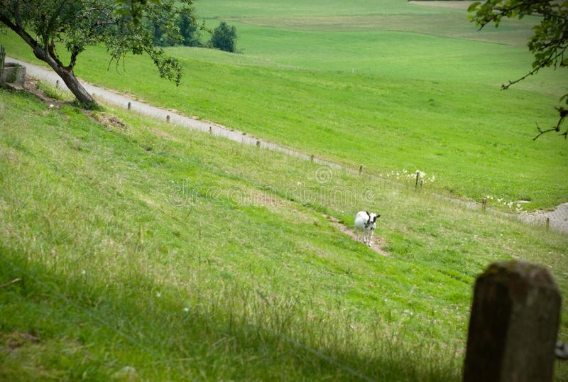 A black and white goat in the background of green grass in a meadow. Scene with countryside view of a goat on the meadow stock image
