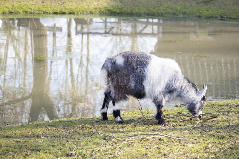 Black and white goat grazing beside a pond. A black and white goat grazing beside a pond stock images