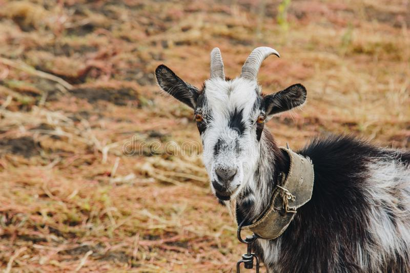Black and white goat with horns growing back on a leash grazes in the field. protection of animals, milk-giving animals.  royalty free stock photos