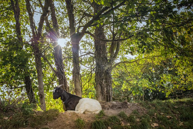 Black and white goat lying down under trees in sunshine. Black and white goat with horns lying down under trees with thick green foliage illuminted by sunlight royalty free stock photography
