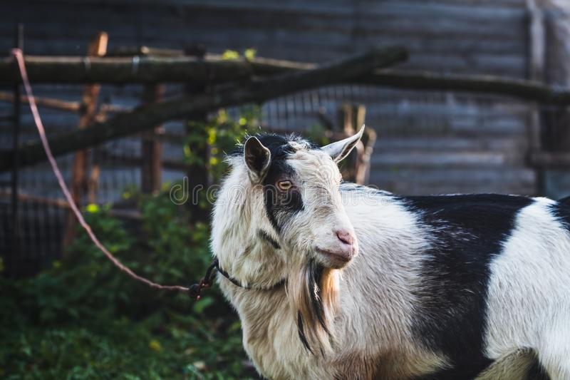 Black and white domestic goat on a leash on a home mini farm in the autumn sun. Close-up portrait. royalty free stock photography