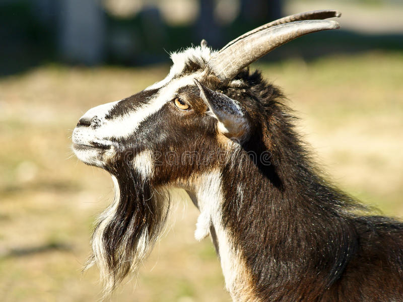 Black white goat. With long beard royalty free stock photography