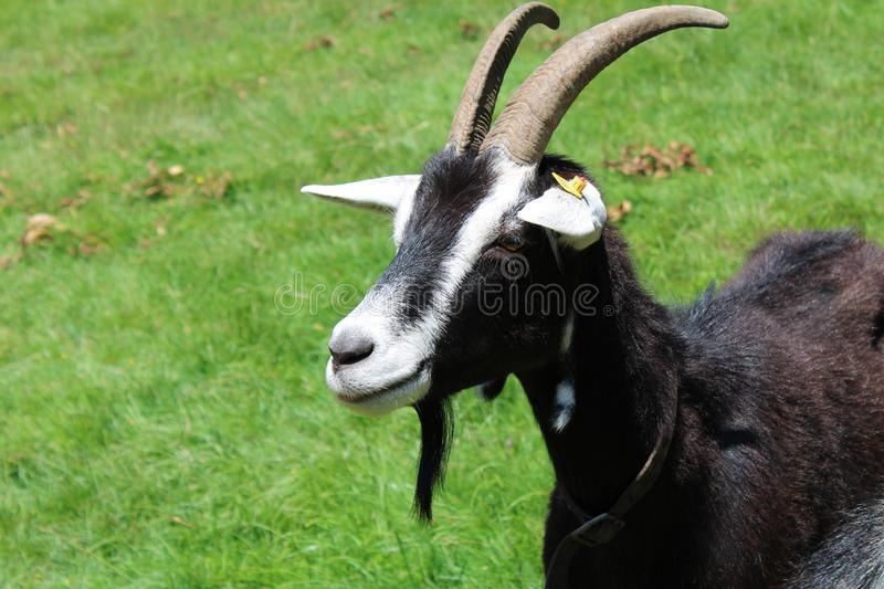 Black and white goat in ta meadow royalty free stock photo