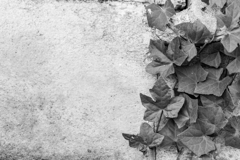 Black and white of Green ivy on old building. Texture background stock image