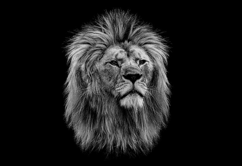 Black and white head of a lion royalty free stock photography