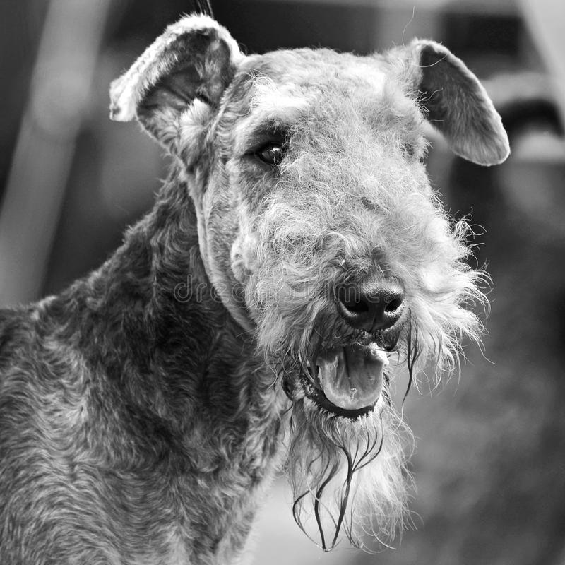 Black white head portrait of stunning Airedale Terrier show dog royalty free stock photos