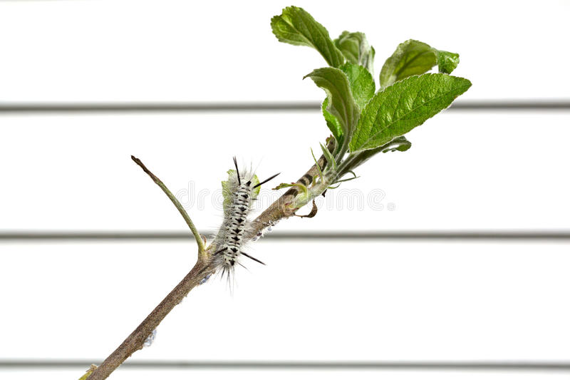 Download Black And White Hickory Tussock Caterpillar Stock Photo - Image of small, flora: 26539184