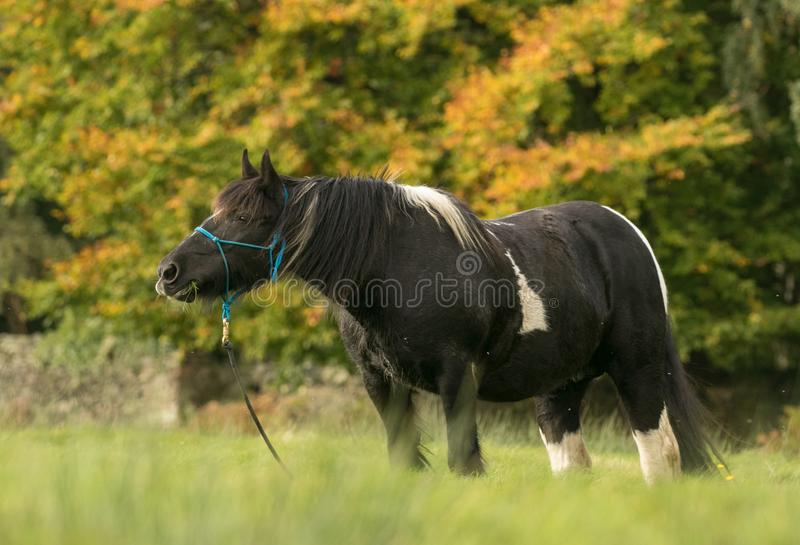 A black and white horse cob feeding on grass. A black and white horse with english autumn countryside. The Irish Cob, also known as the Gypsy Cob, Gypsy Horse or stock photos