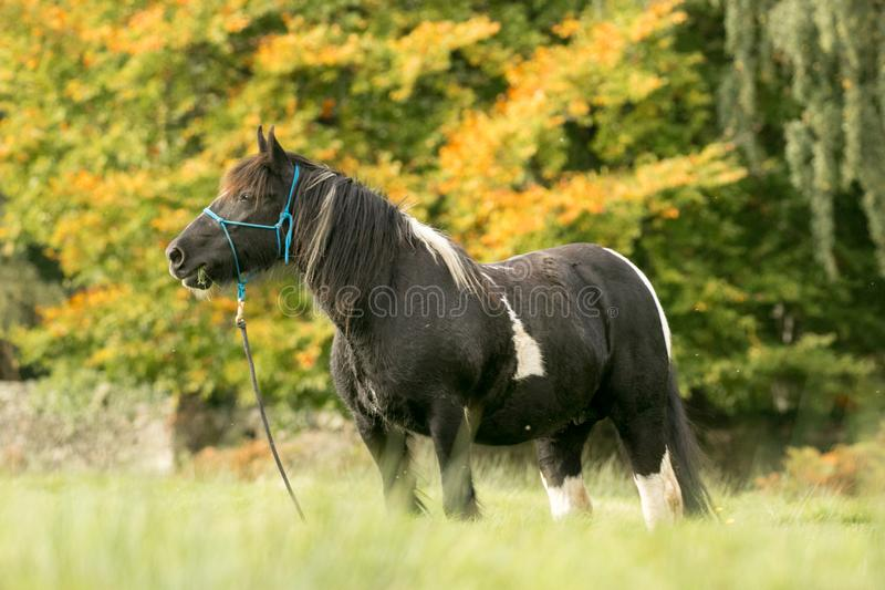 A black and white horse cob feeding on grass. A black and white horse with english autumn countryside. The Irish Cob, also known as the Gypsy Cob, Gypsy Horse or royalty free stock photos