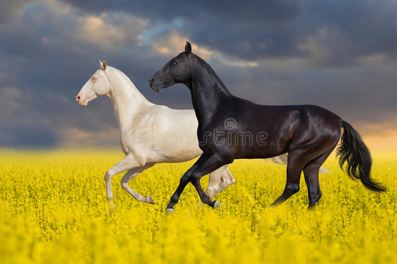 Black and white horse run in flowers stock image
