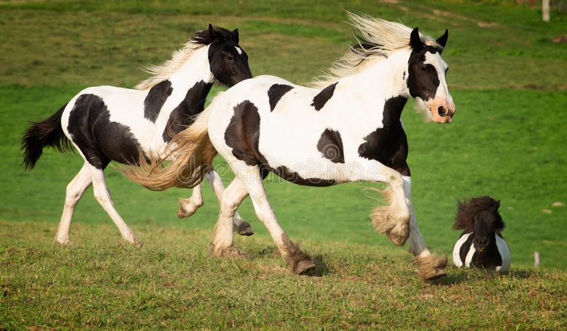 Black and white horse running at the mountain farm stock images