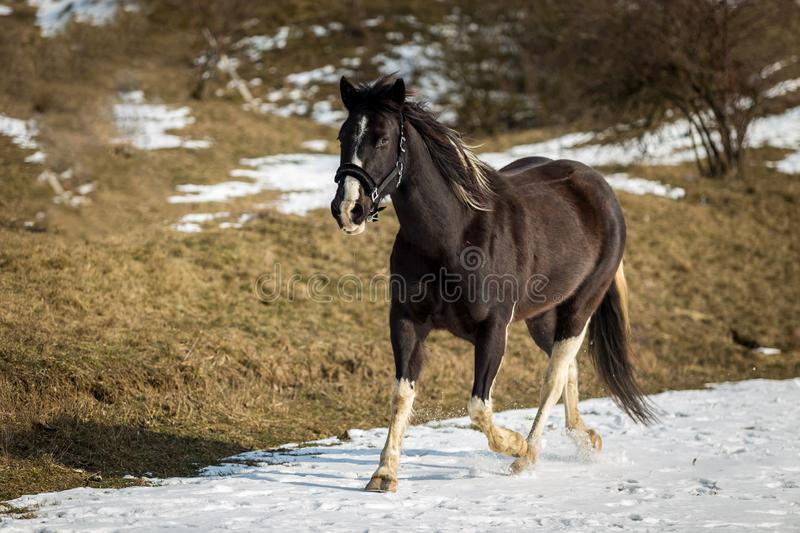 Black and white horse running in the snow stock photo