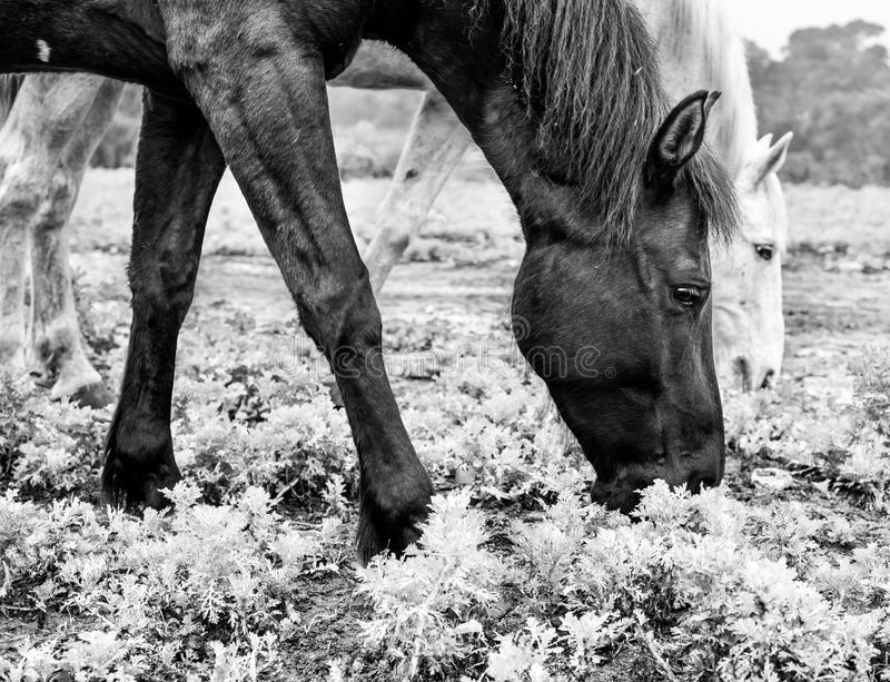 Black and white horses eating at the meadow stock images
