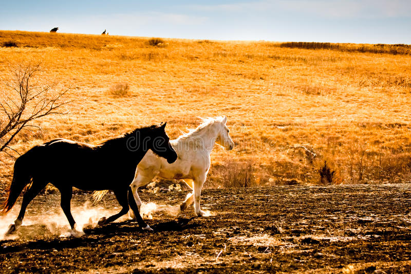 Black and white horses trotting stock image