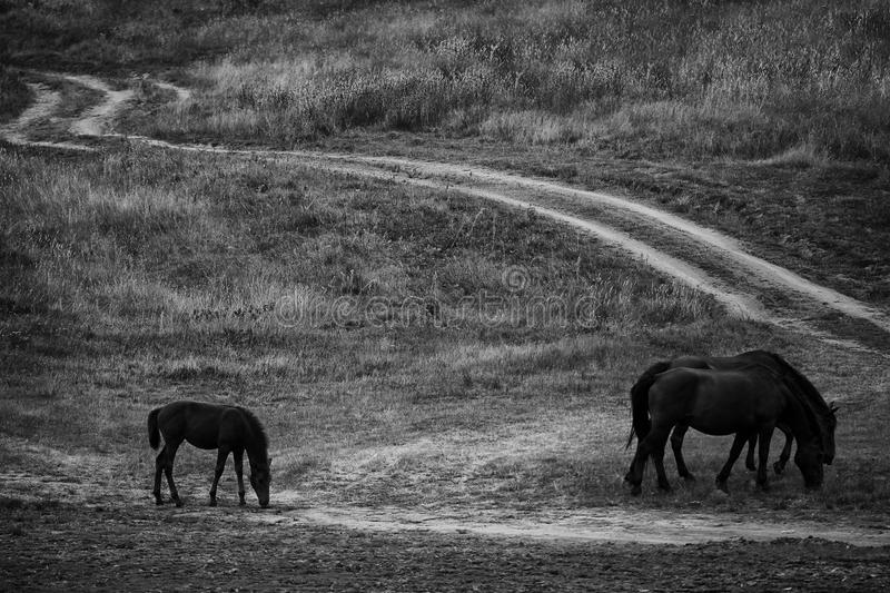 Black and white horses stock image