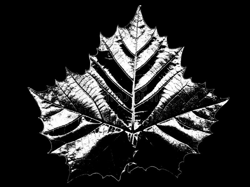 Maple leaf acer. Black and white illustration of a big maple leaf. The outline of the leaf can clearly seen stock images