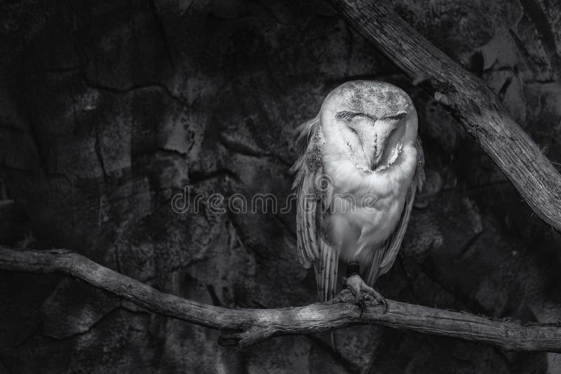 Black and white image of a Barn owl Tyto alba on a perch. Black and white image of a Barn owl Tyto alba sitting on a perch stock image