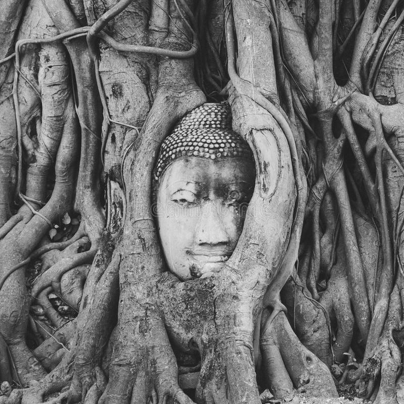 Black and white image of the buddha image inside the Bodhi tree roots in Ayutthaya stock photography