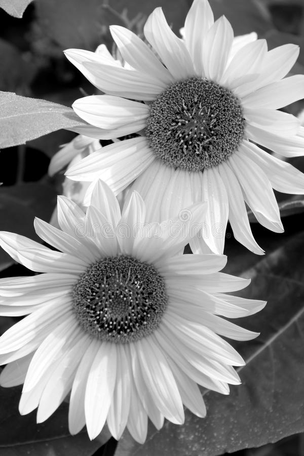 Black and white image of daisies with open petals under warmth of sun royalty free stock image