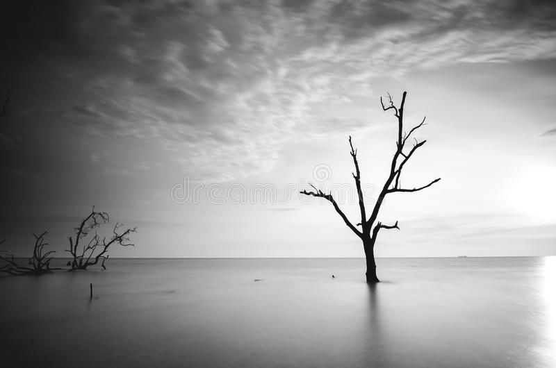 Black and white image of dead mangrove tree surrounding by sea water during sunset. Soft and blurred focus on water and clouds due to long exposure royalty free stock images