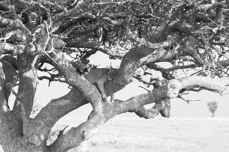 Eastern African lioness Panthera leo in tree. Black and white image of Eastern African lioness Panthera leo, species in the family Felidae and a member of the royalty free stock photo