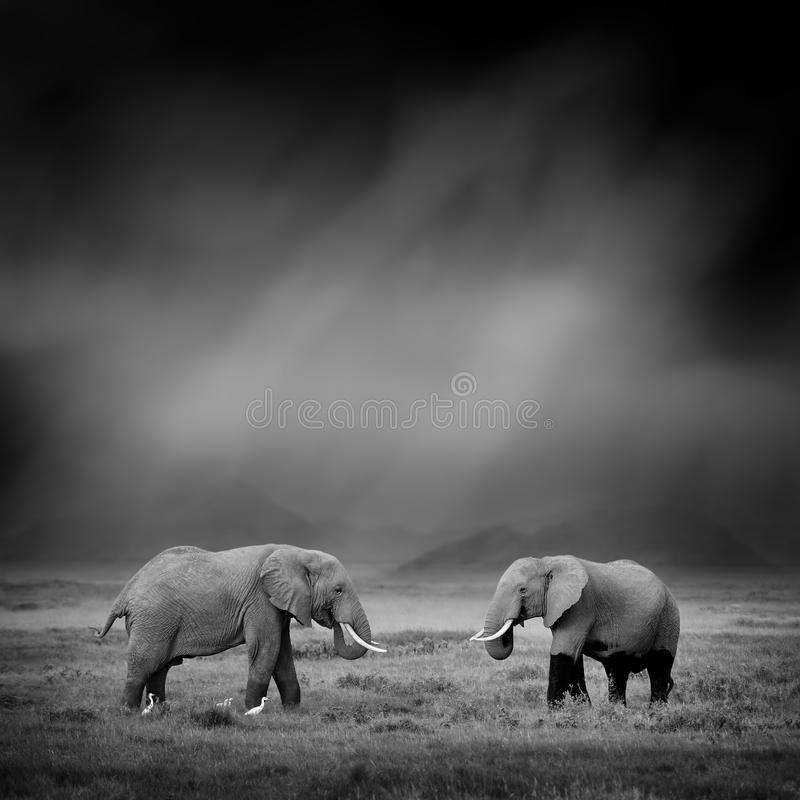 Black and white image of a elephant stock photos