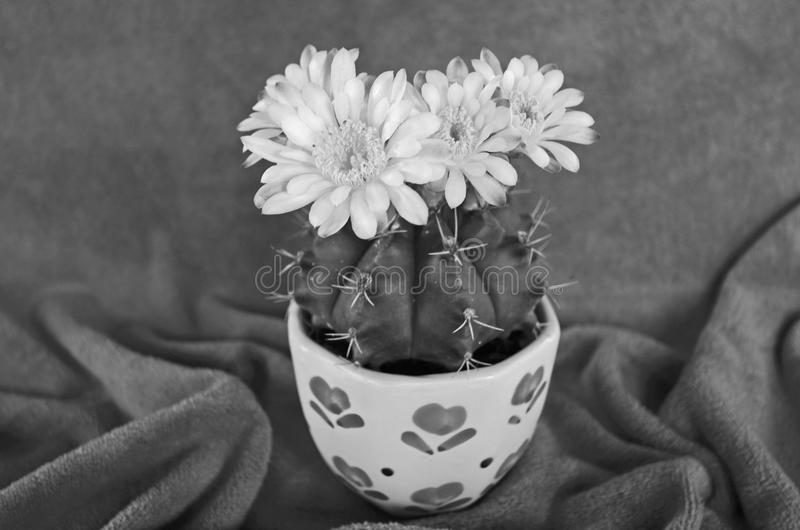 Black and white image flower of gymnocalycium cactus royalty free stock images