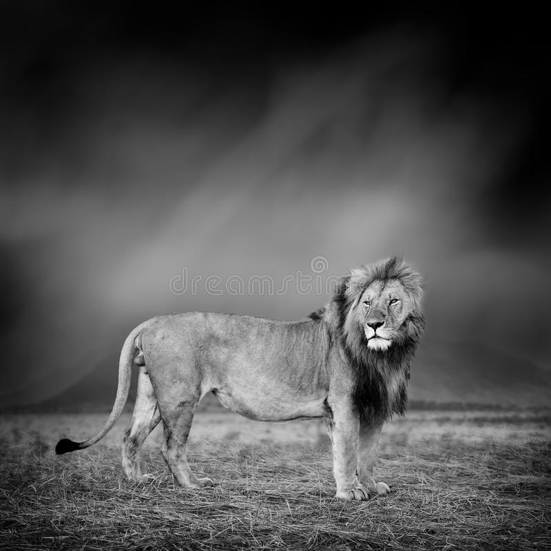 Black and white image of a lion stock photography