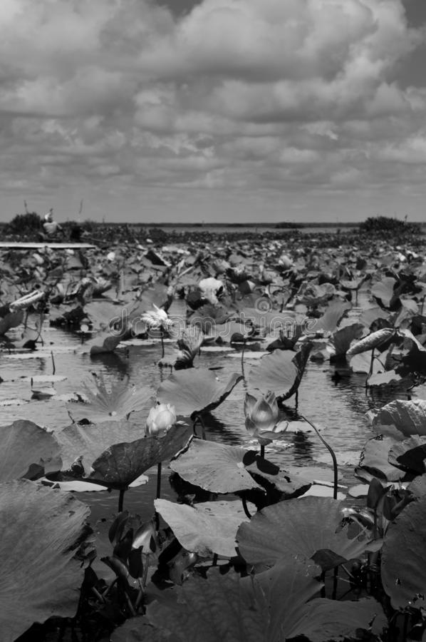 Black and white image Lotus pond in Talay Noi Fowl Reserve, Ramsar wetland resevior of Songkhla Lake, Phattalung stock photo