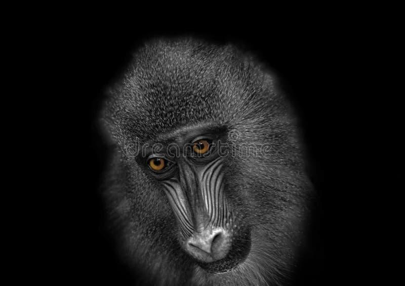 Black-and-white image of a monkey with sad orange eyes royalty free stock image
