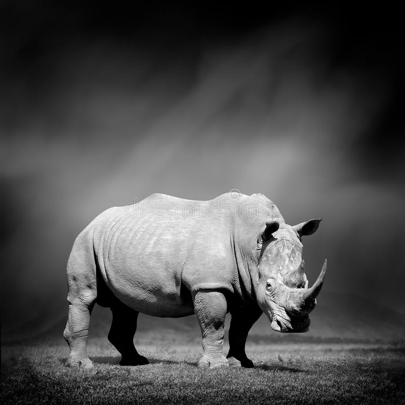 Black and white image of a rhino. Dramatic black and white image of a rhino on black background stock photography