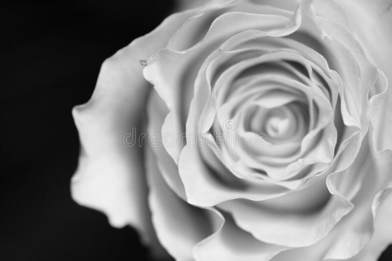 Black and white image of a rose on dark background.  stock image