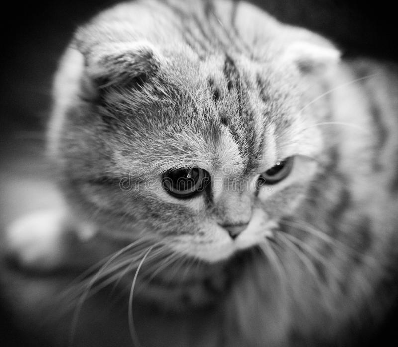 A black and white close up of a cute scottish fold munchkin cat with shallow depth of field. royalty free stock photos