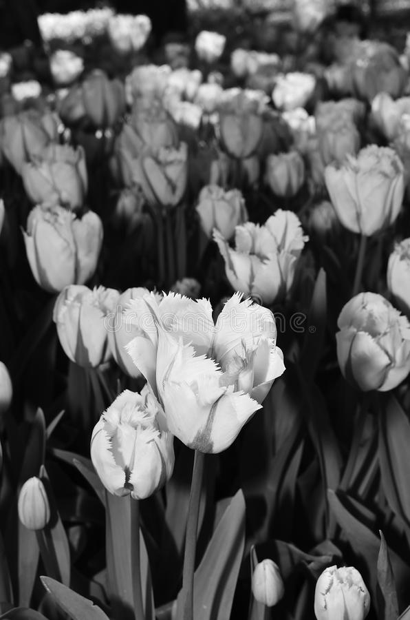 Black and white image of tulips in spring XIII royalty free stock photos