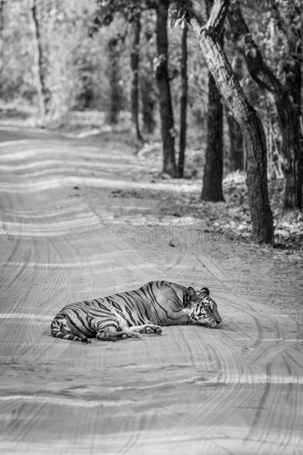 Black and white image of wild female tiger resting on forest track at bandhavgarh national park or tiger reserve madhya pradesh. India - panthera tigris royalty free stock photo