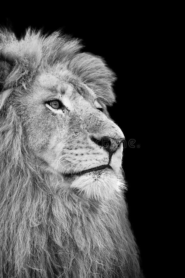 Black and White Isolated Lion Face. Card stock photos