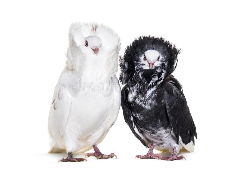 Black and white Jacobin pigeons against white background stock images